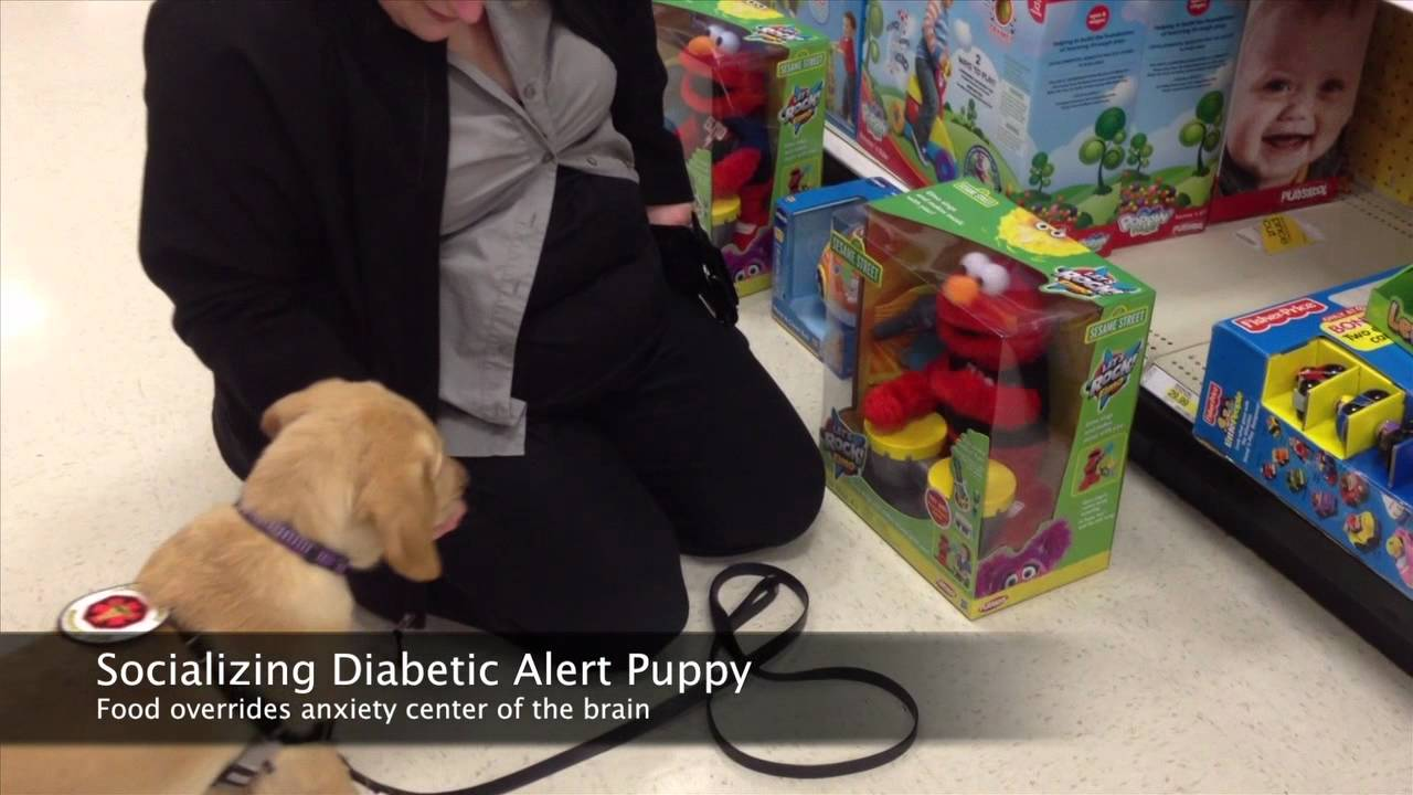 Diabetic Alert Dog Puppy Training – Socialization – Seattle Puppy Classes