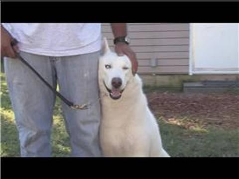 Dog Training & Care : How to Train a Husky Dog